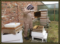 Spring Inspection At Clumber Park (M E For Bees (Was Margaret Edge The Bee Girl)) Tags: clumberparkwalledgarden apiary apismellifera apiculture honeybees wbc outdoors redbricks wall white broodframe wooden nottinghamshire beesuit garden feeder