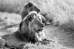 Hwange, Zimbabwe (ravalli1) Tags: zimbabwe africa lions wildlife nature hwange blackandwhite travelphotography africanbushcamps somalisa animals