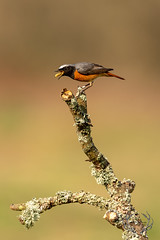 20190415-D4S_0021 (Bartek Olszewski) Tags: birds ptaki bird kukulka wood wildlife wild woods wings nature nikon natura nikond4s