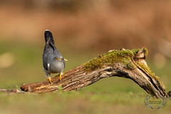 20190415-D4S_1243 (Bartek Olszewski) Tags: birds ptaki bird kukulka wood wildlife wild woods wings nature nikon natura nikond4s