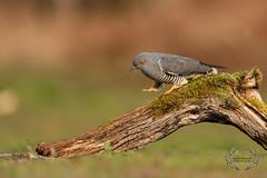 20190415-D4S_1238 (Bartek Olszewski) Tags: birds ptaki bird kukulka wood wildlife wild woods wings nature nikon natura nikond4s