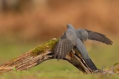 20190415-D4S_1188 (Bartek Olszewski) Tags: birds ptaki bird kukulka wood wildlife wild woods wings nature nikon natura nikond4s