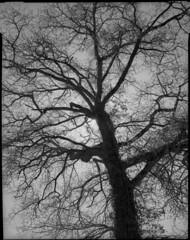 Ramure (Philippe Torterotot) Tags: chamonix45n2 largeformat grandformat 4x5 chamonixviewcamera tree arbre analog film filmisnotdead fomapan100 foma argentique noirblanc noiretblanc marais goulaine