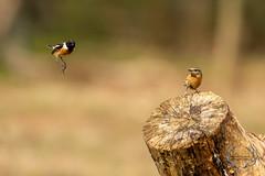 20190415-D4S_0536 (Bartek Olszewski) Tags: birds ptaki bird kukulka wood wildlife wild woods wings nature nikon natura nikond4s