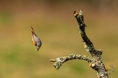 20190415-D4S_0332 (Bartek Olszewski) Tags: birds ptaki bird kukulka wood wildlife wild woods wings nature nikon natura nikond4s