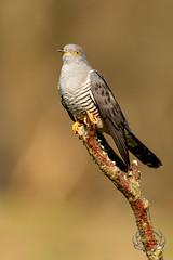 20190415-D4S_0137 (Bartek Olszewski) Tags: birds ptaki bird kukulka wood wildlife wild woods wings nature nikon natura nikond4s