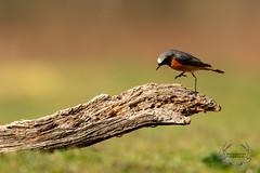 20190415-D4S_0057 (Bartek Olszewski) Tags: birds ptaki bird kukulka wood wildlife wild woods wings nature nikon natura nikond4s