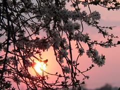 Mirabelle Sunset III (kachigarasu PL (busy)) Tags: wielkopolska ポーランド カリシュ ヴィエルコポルスカ sky 空 evening 夕方 風景 木 trees landscape tree kalisz 花 flower 夕暮れ 日没 sunset 夕焼け シルエット silhouette eveningsky prosnavalley dolinarzekiprosny 見上げる poland cloud clouds 雲 dusk twilight polska panasonicdmcfz15 greaterpoland takenbywr glow prunusdomestica prunusdomesticasubspsyriaca mirabelle mirabelleplum mirabelleprune cherryplum mirabelka śliwamirabelka ミラベル flowers blossom bokeh śliwa plum 李 スモモ ミラベル李 ミラベルスモモ prosna prosnariver 川辺 プロスナ プロスナ川