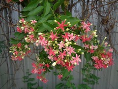 rangoon creeper creeping over a fence (the foreign photographer - ฝรั่งถ่) Tags: rangoon creeper flower fence our street bangkhen bangkok thailand sony blooming