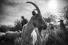 Le berger... (De l'autre côté du mirOir...) Tags: leberger chèvre mouton ledomainedelarochejagu ploezal bretagne breizh brittany bzh fr france french nikon nikkor d810 nikond810 noiretblanc noirblanc nb blackwhite bw monochrome négroyblanco