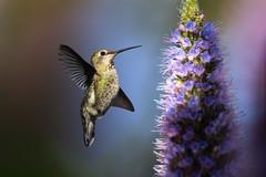 Hello! (Patricia Ware) Tags: annashummingbird birdsinflight california calypteanna canon ef400mmf4doisiiusmlens handheld playadelrey prideofmadeira playavista unitedstatesofamerica specanimal