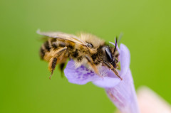 Hello Mr. Friend (Azca.B) Tags: bee macro macrounlimited nature insect photography naturephotography bumblebee