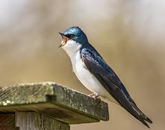 Tree Swallow (will139) Tags: treeswallow tachycinetabicolor passerinebird nestbox beautyinnature animalsinthewild naturalworld naturalbeauty availablelight avianhology migratorybird