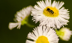 Chillin (Azca.B) Tags: bug insect flowers macro macrounlimited closeup