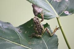 Pacific Tree Frog (maritimeorca) Tags: amphibian animal billyfrankjrnisquallynationalwildliferefuge frog pacifictreefrog pseudacrisregilla thurstoncounty washington
