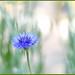 Evening Cornflower