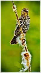 Female Red-Winged Blackbird (Bob's Digital Eye 2) Tags: back30 bird bobsdigitaleye canon canonefs55250mmf456isstm depthoffield nature outside redwingedblackbirdf t3i wildbird wildlife flickr flicker fauna bobsdigitaleye2