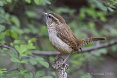 Carolina Wren IMG_4423 (ronzigler) Tags: animal wildlife nature avian songbird bird wren carolina canon 80d sigma 150600mm