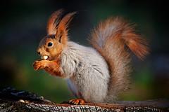 squirrel (Alex Brainberg) Tags: squirrel nikon d500 300mm afs