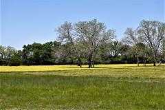 Brenham - April 14, 2019 (Deborah Barrett) Tags: nikon texas brenham washingtoncounty d750 springflowers