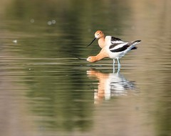 Two of a Kind (droy0521) Tags: wildlife colorado bird outdoors ornithology places avocet americanavocet