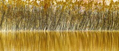 Gold Rush (BIKEPILOT, Thx for + 5,000,000 views) Tags: reeds gold river water colour photoshop photoshopped reflection abstract symmetry nature flow