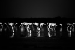 Flamingo family - Mono (Karthikeyan.chinna) Tags: karthikeyan chinna chinnathamby canon canon5d tamron 150600 canon5dmarkiii travel bird birds nature wildlife waterscape mono monochrome black white bw pattern symmetry flamingo flamingos pulicat india tamilnadu lightroom feeding habitat wild reflection water backwaters