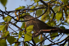 Dunnock on the Thames Path (HoosierSands) Tags: dunnock brentford london