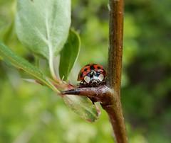 Harmonia axyridis (rockwolf) Tags: harmoniaaxyridis harlequin ladybird beetle coccinelle coccinellidae coleoptera coccinelleasiatique insect shrewsburyoldcanal shrewsbury shropshire rockwolf