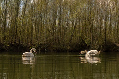 Bubble n' Sneak (cabalvoid) Tags: bird lake lincolnshire lincoln wildlife water swan nature