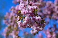 Blüte 02 (Sebastian Ukas) Tags: nikon z6 blüte kirschblüte frühling 50mm pink