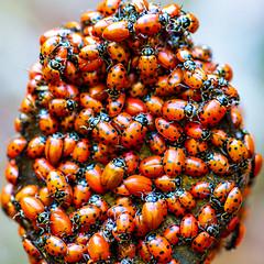 Yeah I Remember When We Said Forever (Thomas Hawk) Tags: america bayarea california coccinellidae eastbay ladybird ladybirdbeetle oakland sfbayarea usa unitedstates unitedstatesofamerica westcoast beetle ladybug ladybugs norcal fav10 fav25 fav50 fav100