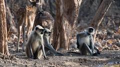 Langurs (iamfisheye) Tags: 300mm nikon naturetrek d500 langur xqd february animal sassangir vr f4 primate india raremammalsandbirdsofgujarat gujarat afs tc14iii pf 2019 monkey
