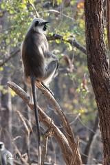 Langur Monkey (iamfisheye) Tags: 300mm nikon naturetrek d500 langur xqd february animal sassangir vr f4 primate india raremammalsandbirdsofgujarat gujarat afs tc14iii pf 2019 monkey