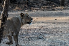 Female Asiatic Lion (iamfisheye) Tags: 300mm nikon naturetrek d500 xqd pantheraleoleo sassangir vr f4 india asiaticlion gujarat february afs tc14iii 2019 raremammalsandbirdsofgujarat pf