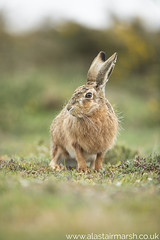Brown Hare Portrait (Alastair Marsh Photography) Tags: hare hares brownhare brownhares mammal mammals mammalsociety rspb havergate rspbhavergateisland havergateisland islands island orford suffolk animal animals animalsintheirlandscape wildlife britishwildlife britishanimals britishanimal britishmammals britishmammal photography wildlifephotography