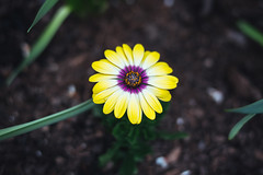 African Daisy (Graham Gibson) Tags: sony a7rii voigtlander 40mm f12 nokton fe phipps conservatory pittsburgh gardens osteospermum purple yellow
