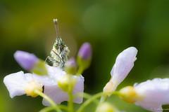 Here I am (jacobsfrank) Tags: butterfly vlinder orangetip oranjetipje pinksterbloem flower purple paars nikon nikond5 frankjacobs jacobsfrank belgie belgium macro natuur nature flickr