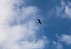 Waiting (W9JIM) Tags: w9jim vulture 5d4 24105l dateland arizona unitedstatesofamerica canoneos5dmarkiv ef24105mmf4lisusm flying sky clouds bird