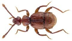 Trichonyx sulcicollis (Reichenbach, 1816) (urjsa) Tags: coleoptera kaefer beetle insect staphylinidae trichonyx sulcicollis trichonyxsulcicollis britain england taxonomy:binomial=trichonyxsulcicollis taxonomy:order=coleoptera taxonomy:family=staphylinidae taxonomy:genus=trichonyx taxonomy:species=sulcicollis geo:country=england coleopteraus insekt