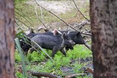 Piggies (Streetfire2007) Tags: pigs nature wild a7ii 24240mm fl
