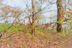 Fluffy (kerwitcherwoo) Tags: nationaltrust nt winkworth arboretum spring buds leaves outdoors uk surrey pink