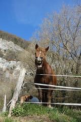Happy horse @ Hike to Montagne de la Mandallaz & Lac de la Balme de Sillingy (*_*) Tags: 2019 printemps spring savoie afternoon march annecy 74 hautesavoie france europe sunny hiking mountain montagne nature walk marche jura mandallaz animal horse cheval randonnee sillingy