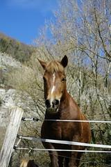 Horse @ Hike to Montagne de la Mandallaz & Lac de la Balme de Sillingy (*_*) Tags: 2019 printemps spring savoie afternoon march annecy 74 hautesavoie france europe sunny hiking mountain montagne nature walk marche jura mandallaz animal horse cheval randonnee sillingy