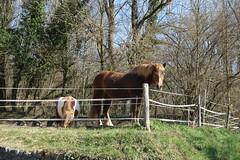 Horses @ Hike to Montagne de la Mandallaz & Lac de la Balme de Sillingy (*_*) Tags: 2019 printemps spring savoie afternoon march annecy 74 hautesavoie france europe sunny hiking mountain montagne nature walk marche jura mandallaz animal horse cheval randonnee sillingy