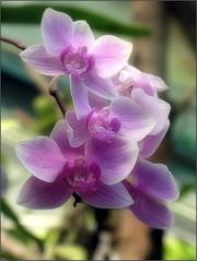 Colorful (Tölgyesi Kata) Tags: orchid orchidea withcanonpowershota620 botanikuskert botanicalgarden greenhouse üvegház füvészkert flower budapest macro blossom fleur virág spring tavasz