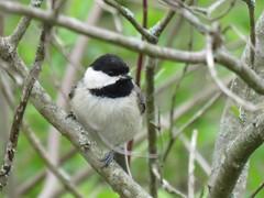young Carolina chickadee (Cheryl Dunlop Molin) Tags: carolinachickadee chickadee bird birdsofindiana passerines
