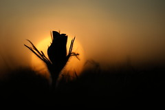 Pasque flower (Mike Mckenzie8) Tags: pulsatilla vulgaris wild plant flower spring sunrise sunset frost sun chalk grassland rare grass macro