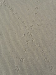gull tracks in the sand (Cheryl Dunlop Molin) Tags: