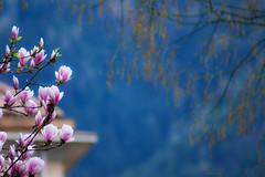 *** (mariola aga) Tags: spring flowers magnolia faithandprotectioninthelightyears